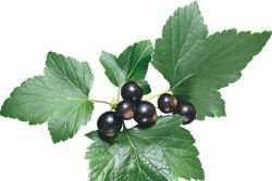 Самогон на смородине: рецепты, как настоять на смородиновых листьях