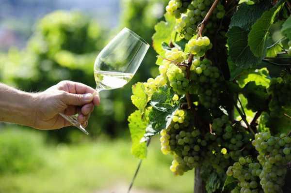 Как сделать вино из листьев винограда