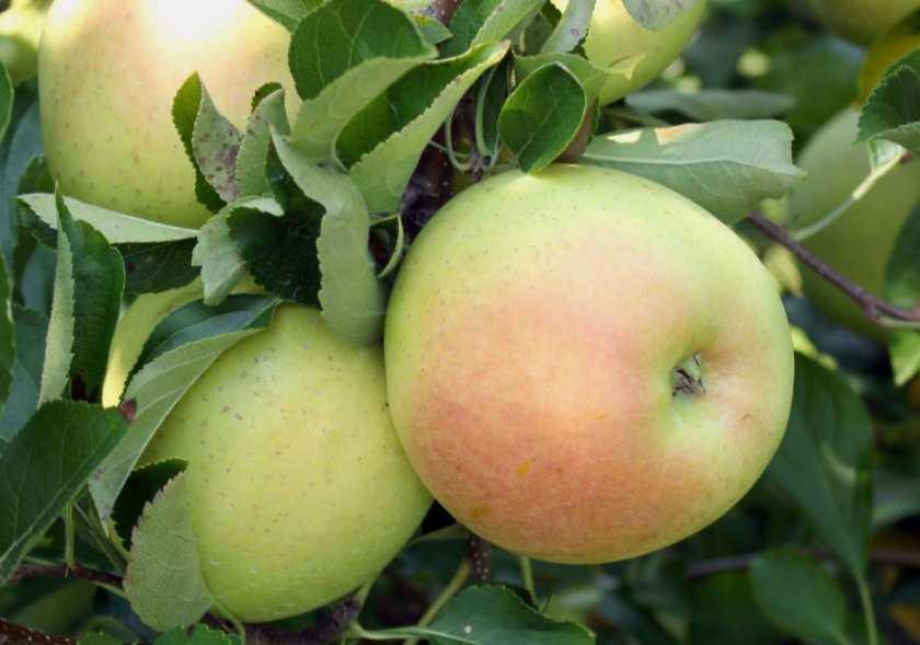Вкусные мочёные яблоки рецепт в домашних условиях