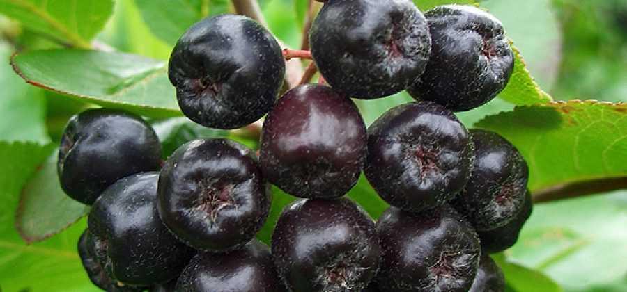Вино из рябины черноплодной с листьями вишни