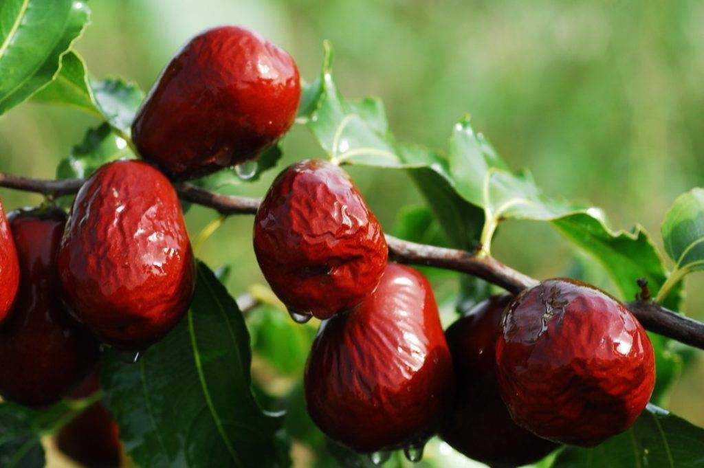 Экзотическая ягода унаби: рецепты, полезные свойства и противопоказания