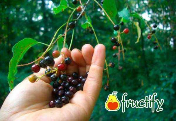 Черемуха обыкновенная: полезные и лечебные свойства дерева