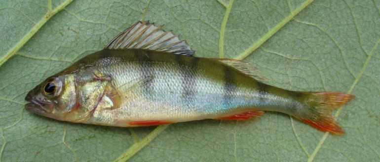 Копченый лосось и форель: 2 рецепта копчения рыбы. копчение своими руками