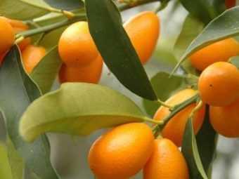 Кумкват в самогон, различные настойки на фрукте, рецепты на зеленых, желтых и сушенных плодах