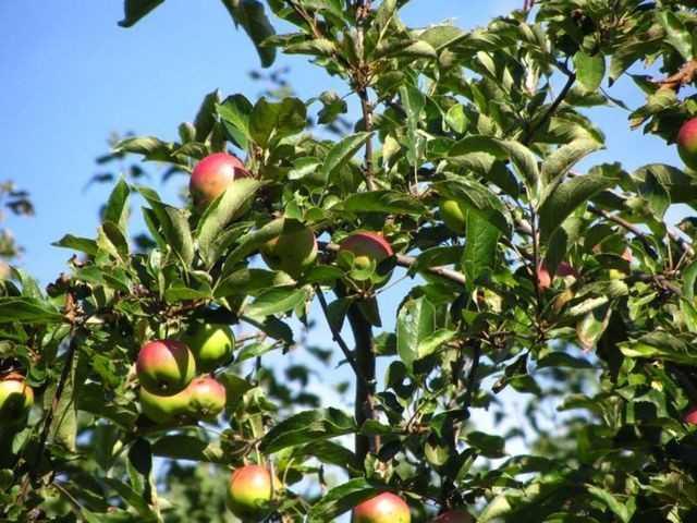 Как сделать вино из яблок в домашних условиях — простые рецепты изготовления