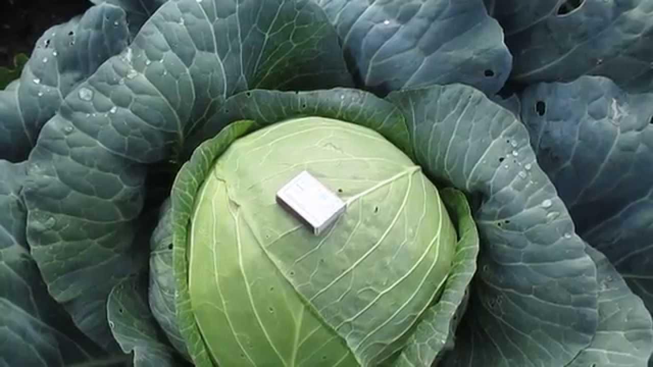 Квашеная капуста — лучшие рецепты. как правильно и вкусно приготовить квашеную капусту.