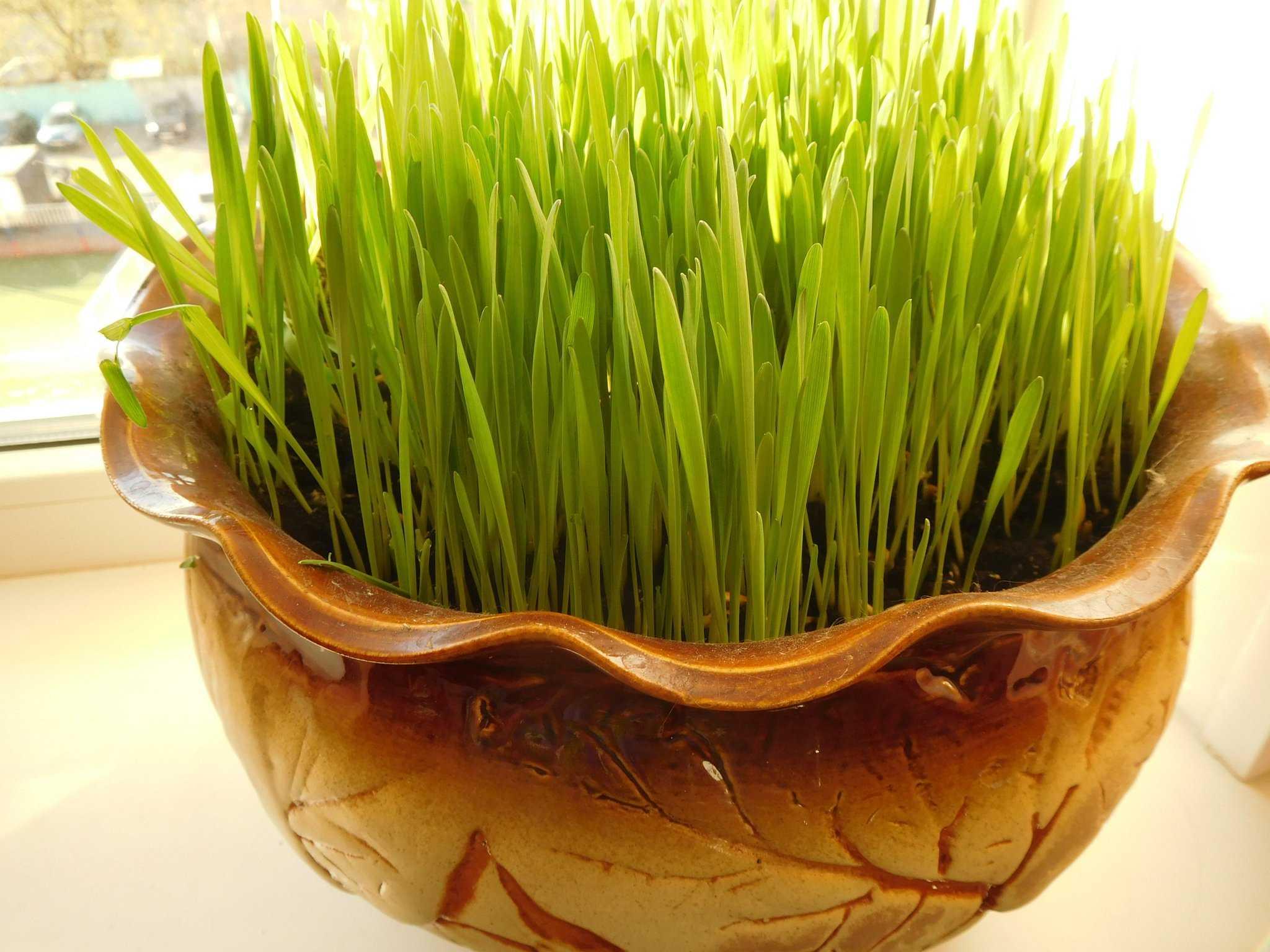 Рецепты салатов с пророщенной пшеницей