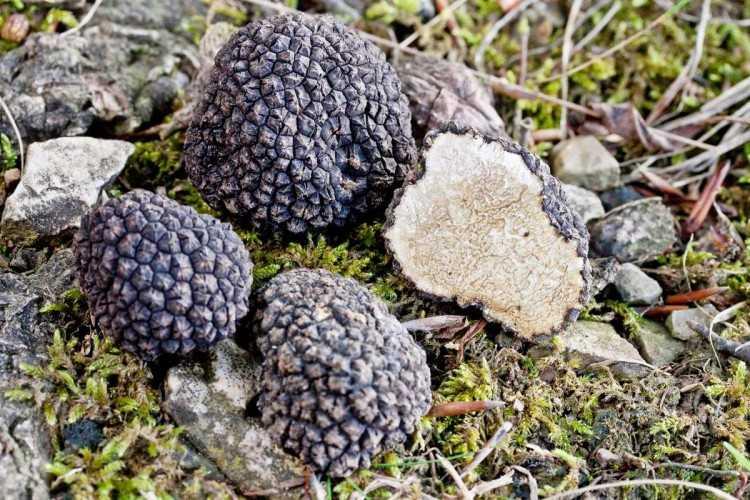 Где в россии растут настоящие дорогие трюфели - области и регионы по видам грибов