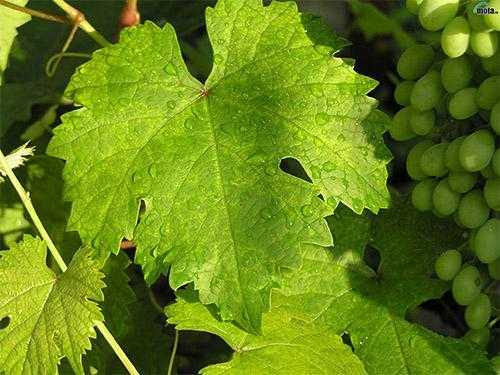 Вино из винограда: 10 рецептов в домашних условиях