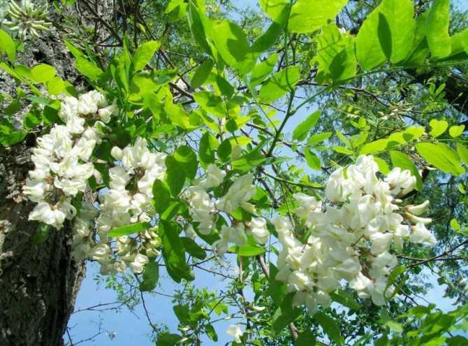 Алоэ (столетник) от кашля при бронхите : инструкция по применению   компетентно о здоровье на ilive