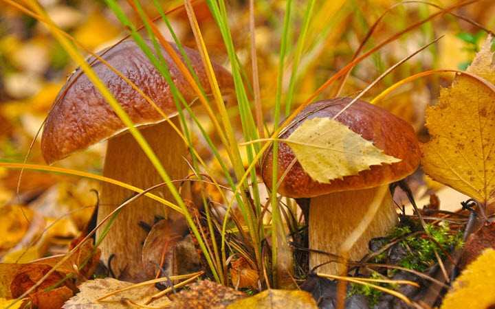 Как солить белые грибы на зиму в банках