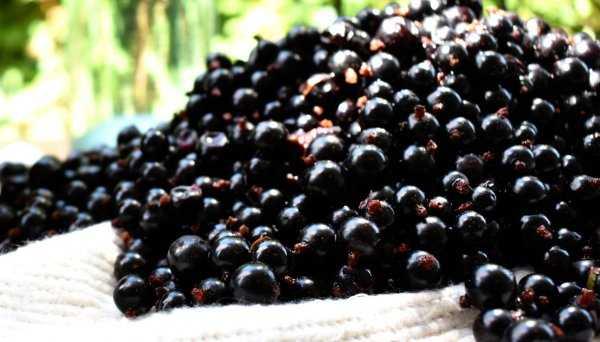 Настойка из ягод - пошаговые рецепты приготовления на водке или спирту в домашних условиях