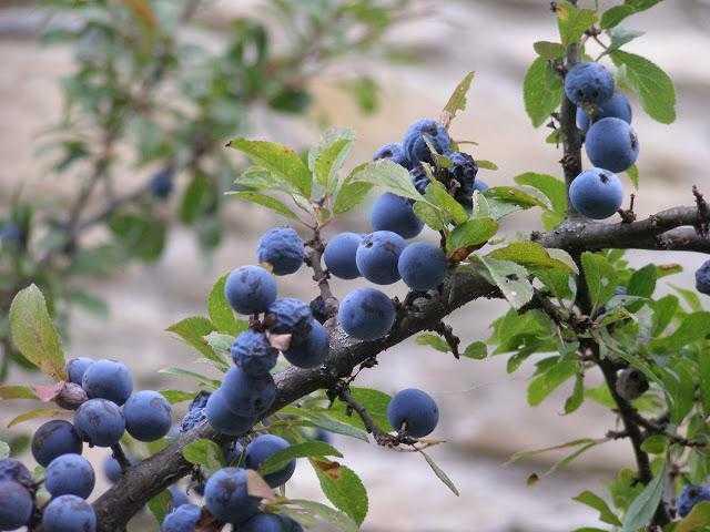 Рецепт варенья из терна: чем полезно, и как «обойти» жесткость и терпкий вкус плодов