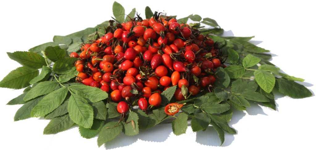 Когда созревает малина в россии: сроки и время сбора ягоды в разных регионах