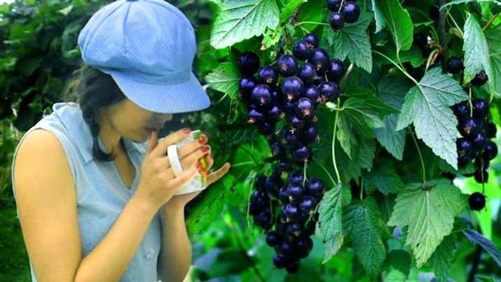 Как заготовить листья смородины на зиму к чаю