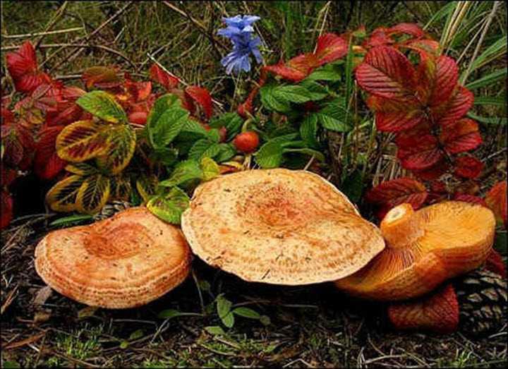 Рыжики, мороженные на зиму: можно ли морозить грибы и как правильно это делать