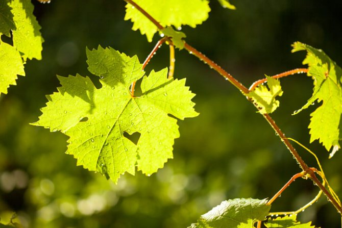 Вино из винограда в домашних условиях: самые простые рецепты виноградного вина