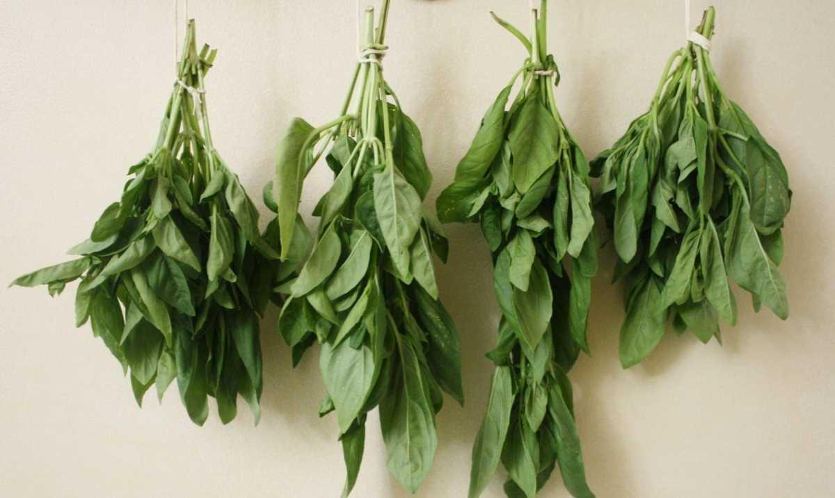 Как собирать базилик: каким образом срезать листья с культуры, чтобы она росла дальше, когда срывать зелень и заготавливать семена, а также правила хранения урожая русский фермер