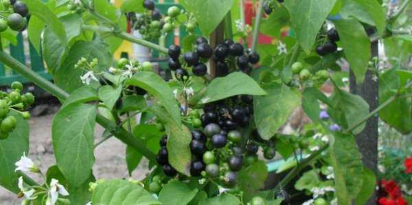 Санберри: польза и вред, что можно приготовить, как использовать в лечебных целях