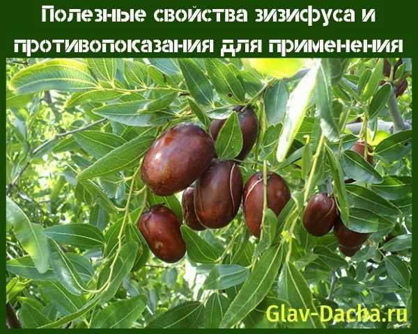 Зизифус — дерево здоровья: выращивание, уход, посадка, полезные свойства   ogorodnik