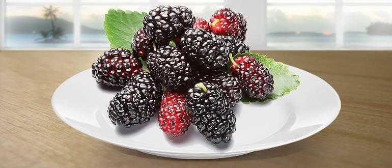 Тутовник сушеный: полезные свойства и противопоказания, рецепты - растения и огород