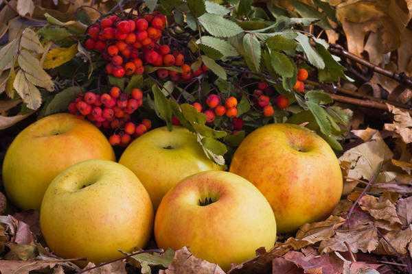 Моченые яблоки: сохраняем вкус и полезные свойства любимого фрукта