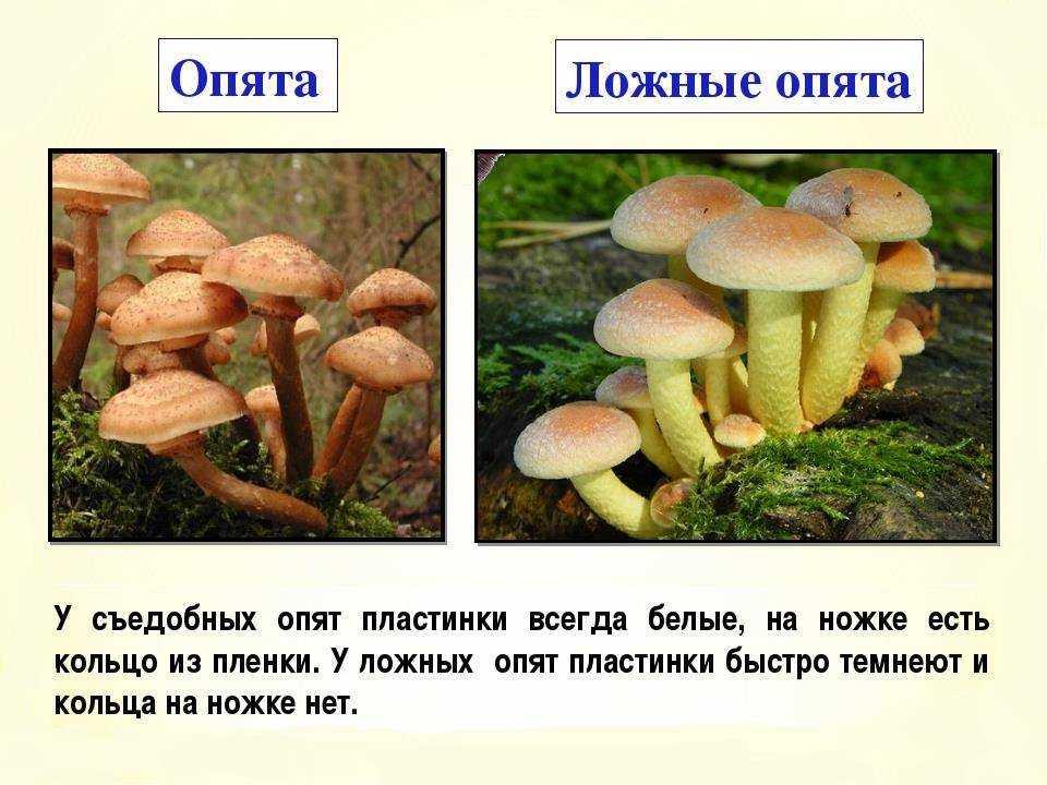 Как правильно мариновать на зиму грибы опята в домашних условиях (+ 22 фото)?