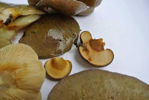 Как вкусно готовить грибы вешенки: маринованные, жареные и в супе