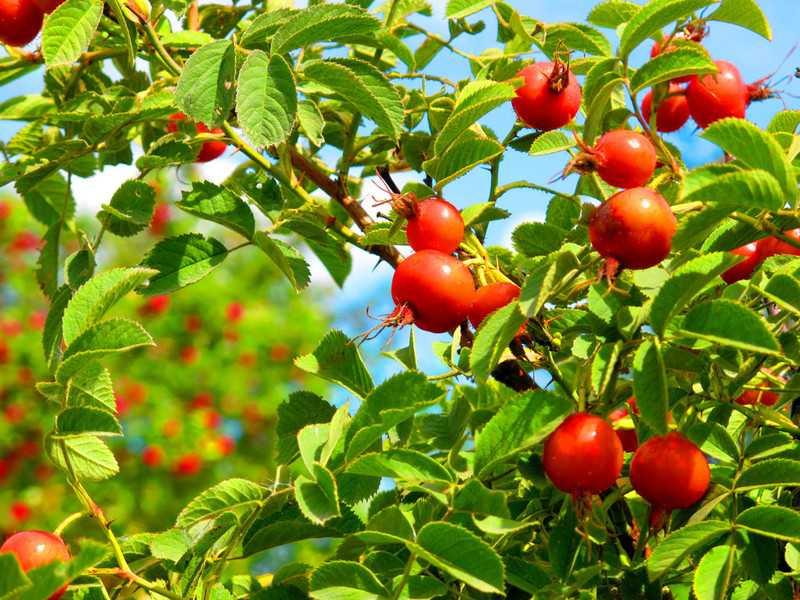 Когда собирать шиповник – лучшее время для сбора плодов, листьев, корней и семян, правила сбора и обработки?