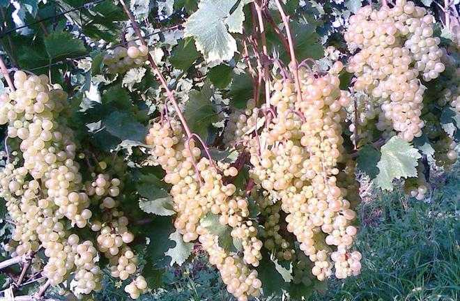 Чача из винограда в домашних условиях простой рецепт пошаговый (фото)