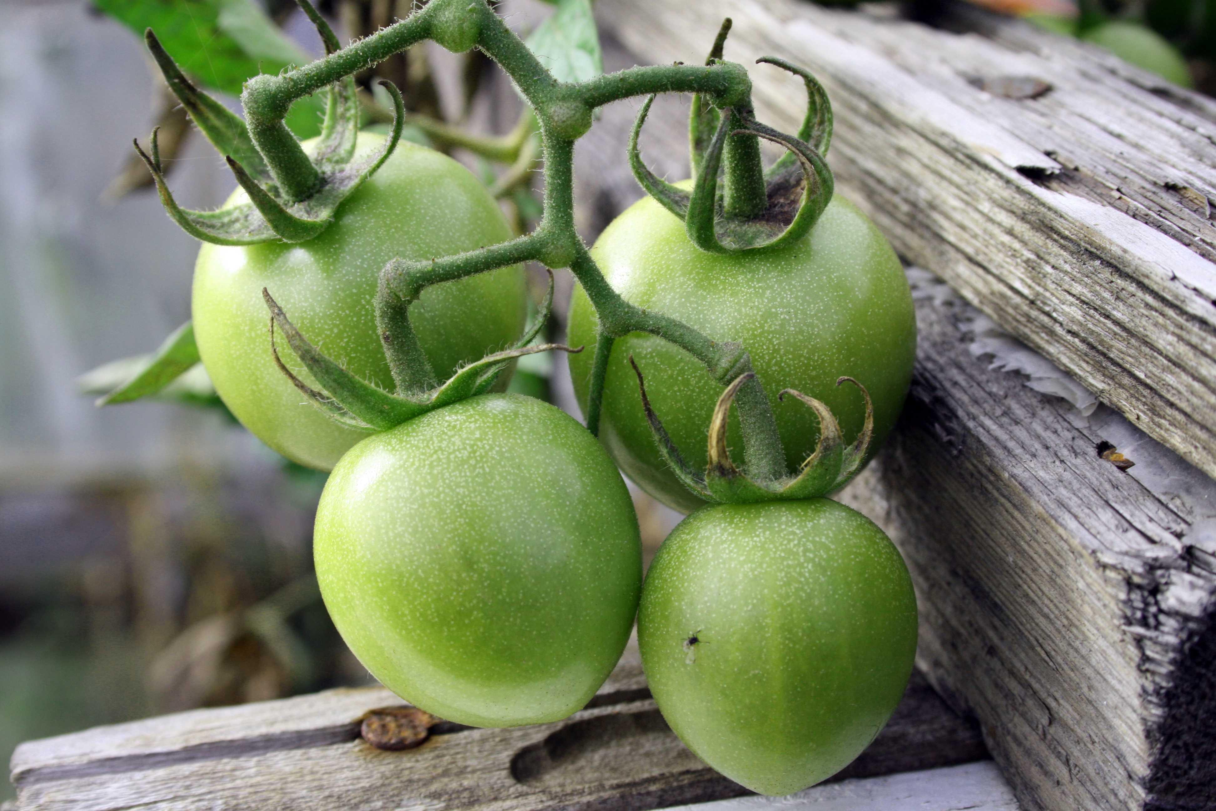 Салат из зеленых помидор - рецепты по-корейски быстрого приготовления, острого салата к столу и на зиму