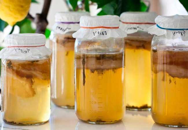 Как и где растет чайный гриб, откуда он берется? метод выращивания
