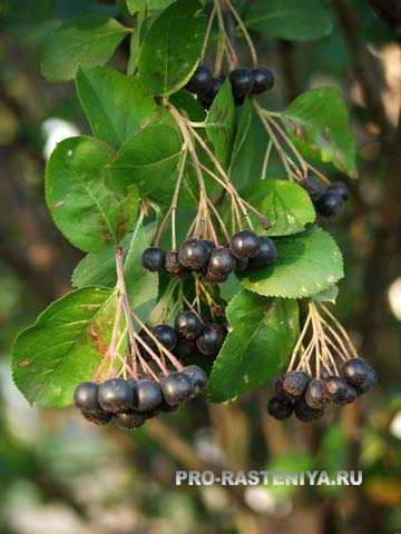 Варенье из черноплодки с вишневыми листьями: топ 3 рецепта приготовления