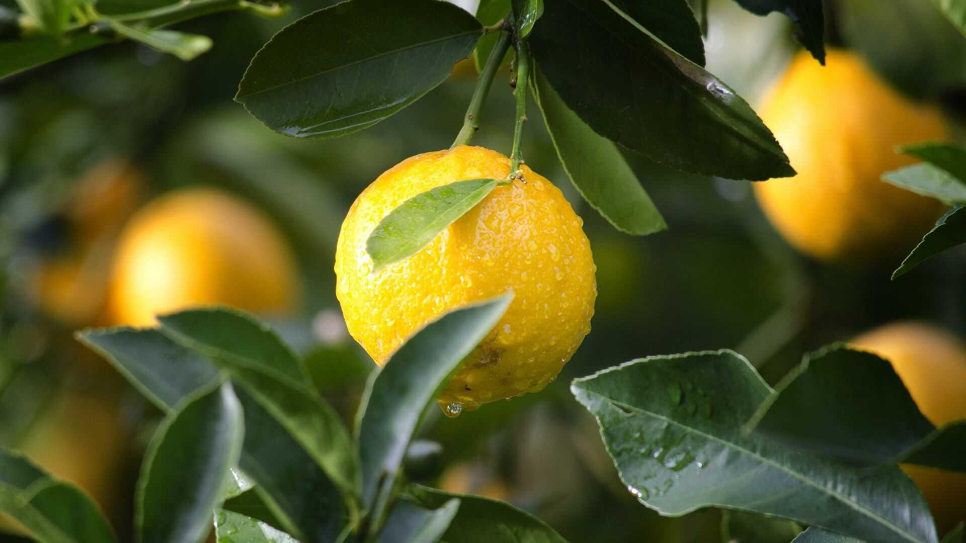 Замороженный лимон: многократная польза, изысканный вкус