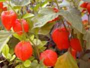 Маринованный физалис на зиму: без стерилизации, со сливами, пряностями. Условия хранения, отзывы тех, кто уже успел заготовить и попробовать плод на вкус.