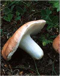 Как убрать горечь из грибов