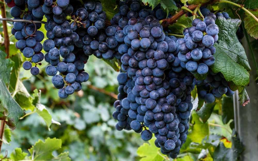 Простой рецепт чачи из винограда в домашних условиях: как сделать виноградный самогон