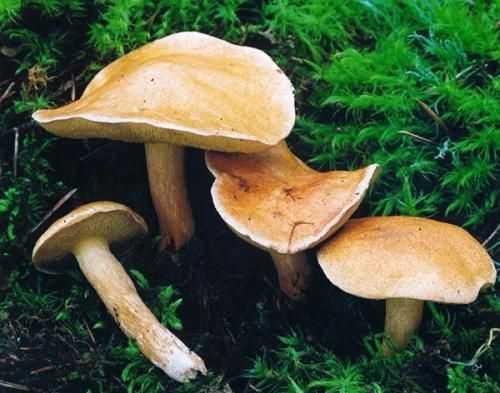 Маринованные грибы козлята (козляки): как вкусно и правильно замариновать - растения и огород