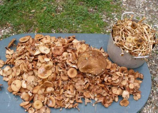 Как заморозить грибы на зиму в домашних условиях (вареные или сырые)