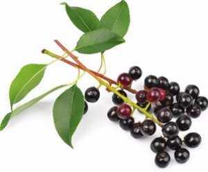 Черёмуха обыкновенная - описание, польза и вред для организма, состав и калорийность ягод, фото