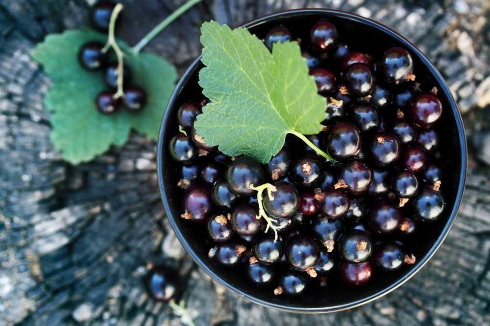 Смородина чёрная: отвары из ягод, плоды, полезные свойства