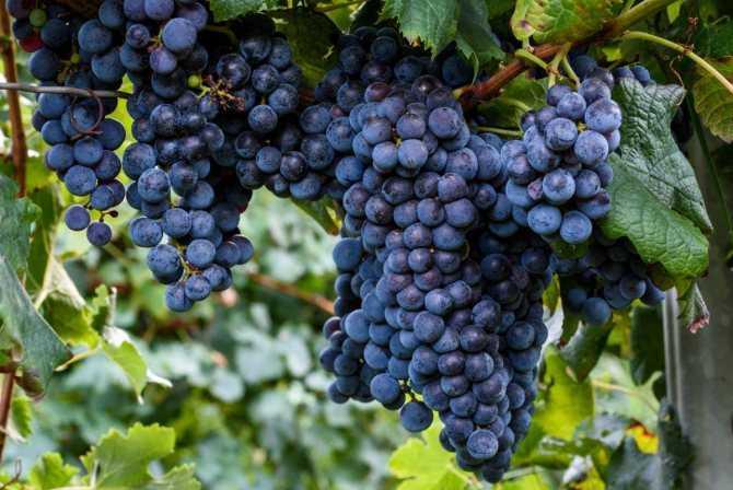 Как сделать домашнее вино из винограда «изабелла», простые рецепты