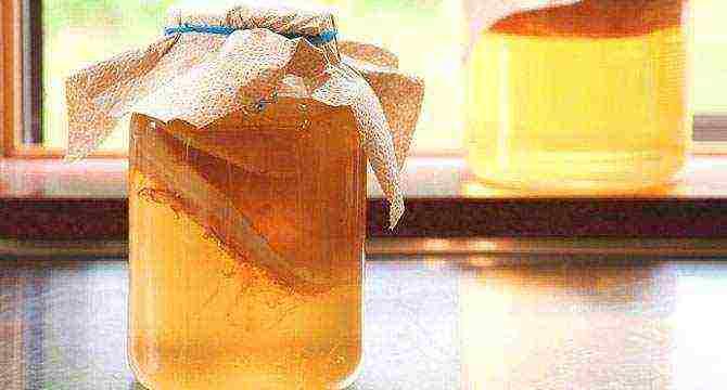Чайный гриб как ухаживать правильно чтобы получить вкусный напиток