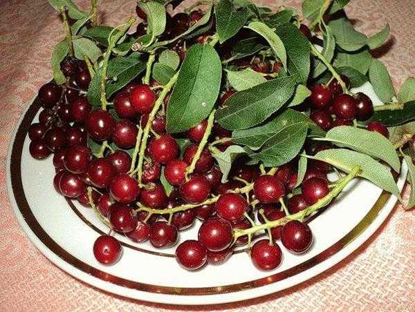 Применение сушеной черемухи – польза и вред ягоды. Способы применения, особенности заваривания сушеной черемухи. Основные правила ее заготовки, сушки и хранения.