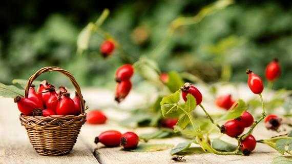 Когда собирать шиповник – где лучше брать ягоды, можно ли срывать недозревшие и мягкие плоды?
