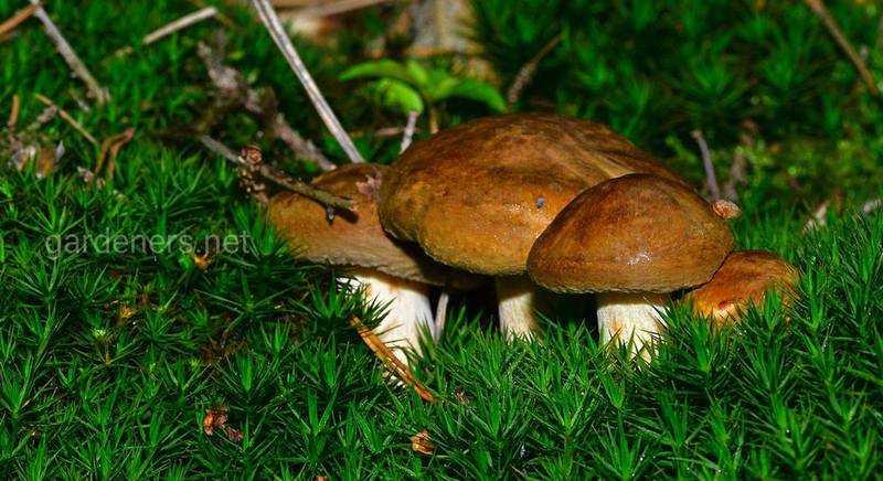 Сушеные грибы лисички — как их сушить в домашних условиях, польза, вред